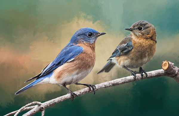 Mr & Mrs Bluebird