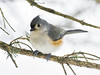 Tufted Titmouse _DSC11018_filtered