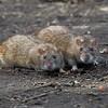 A pair of Rats at Hosehill Lake