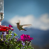 Female broad tailed hummingbird with San Juan Mountains in background