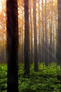 Fiery Sunrise, Long Leaf Pine Savanna