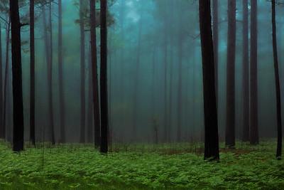 Foggy Morning, Long Leaf Pine Savanna