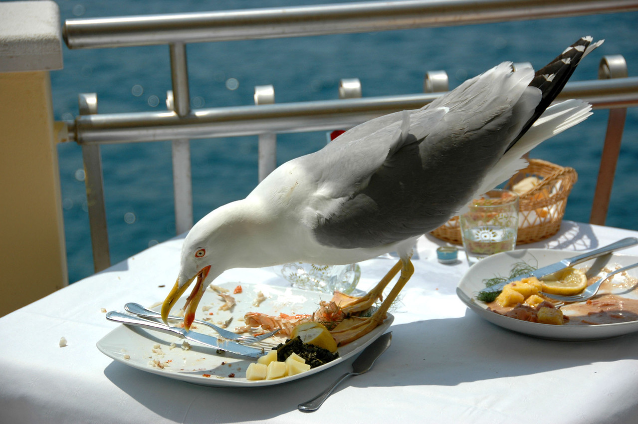 027-Rovinj-gull eating lunch-2-DSC_3587