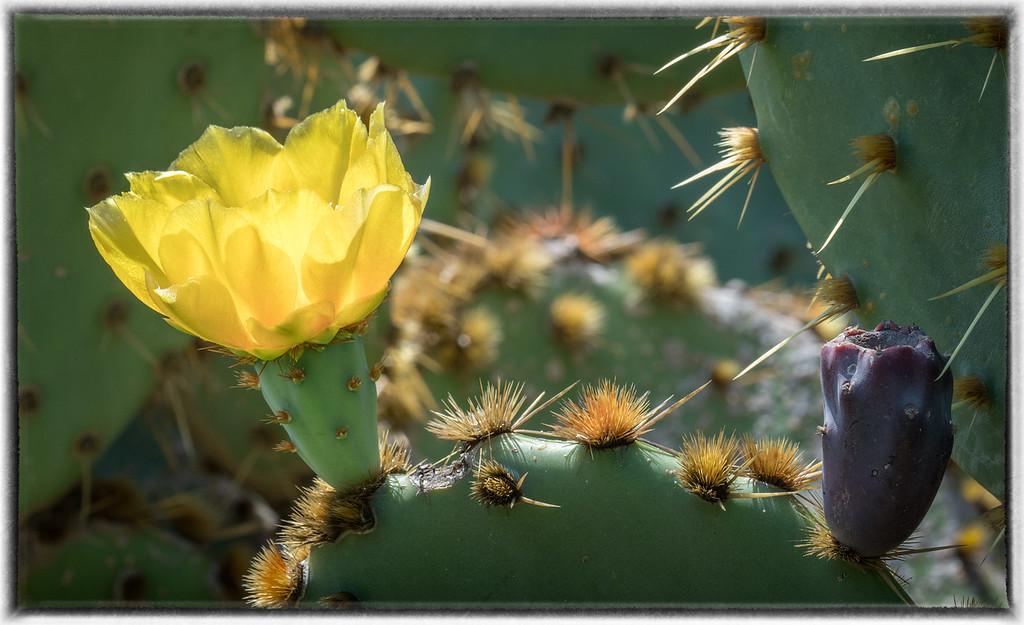 Cactus Blossom on Lokrum Island