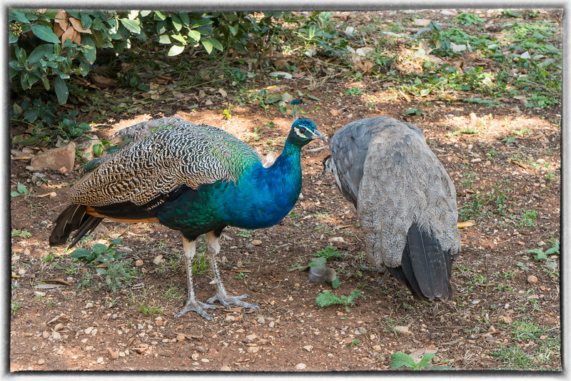 Peacocks on Lokrum Island Near Dubrovnik