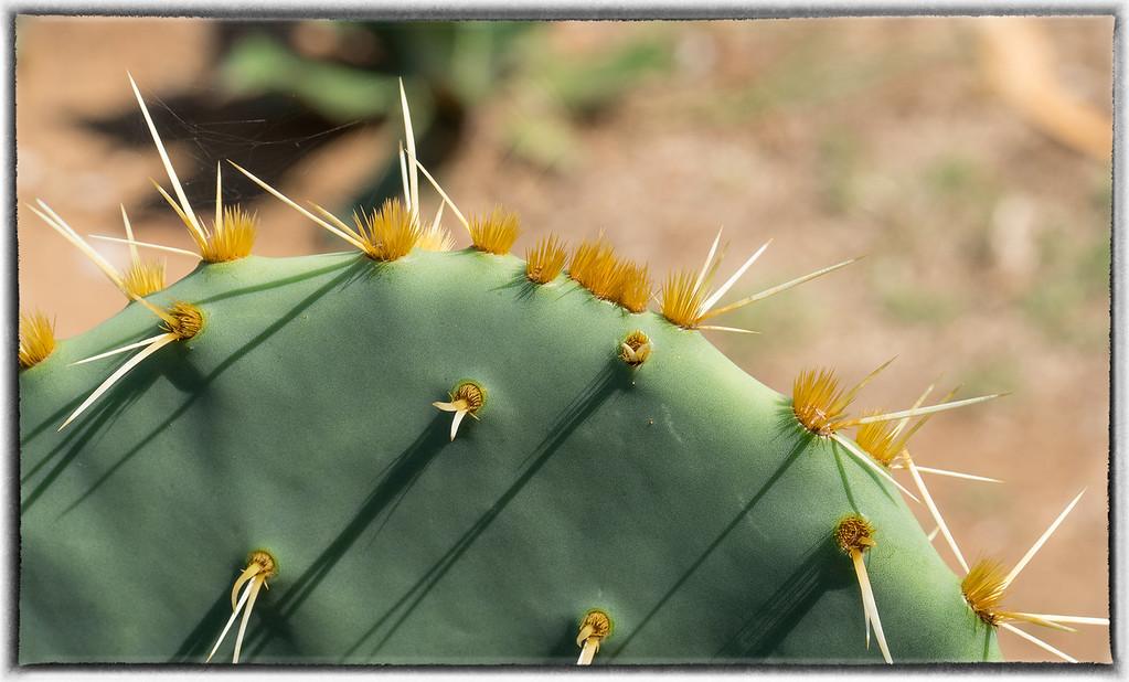 Cactus on Lokrum Island