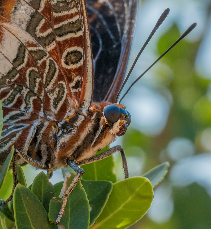 Lokrum Butterfly