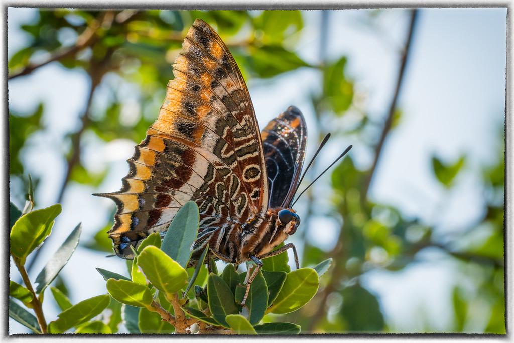 Butterfly on Lokrum Island