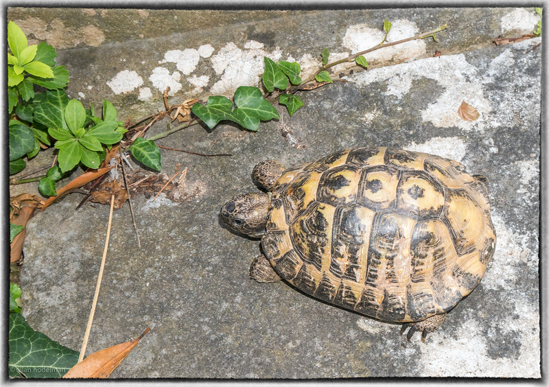 Croatian Turtle