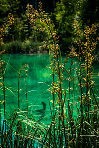 Richards___Reeds along a lake at Plitvica National Park