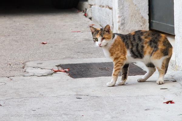 One of many one-eyed cats of Croatia