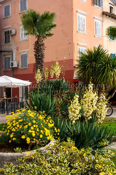 Vegetation of plam trees and blooming yucca plants at Rovinj, Croatia, Istria.