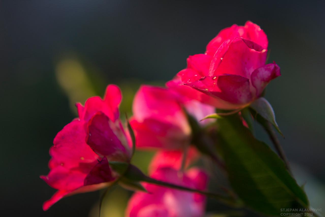 Flowers of Samobor