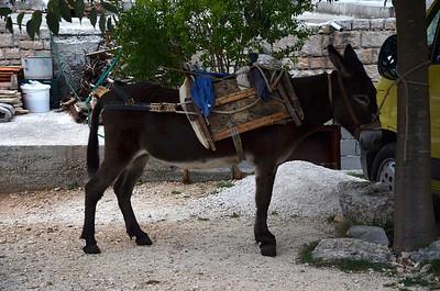 Donkey in Dol