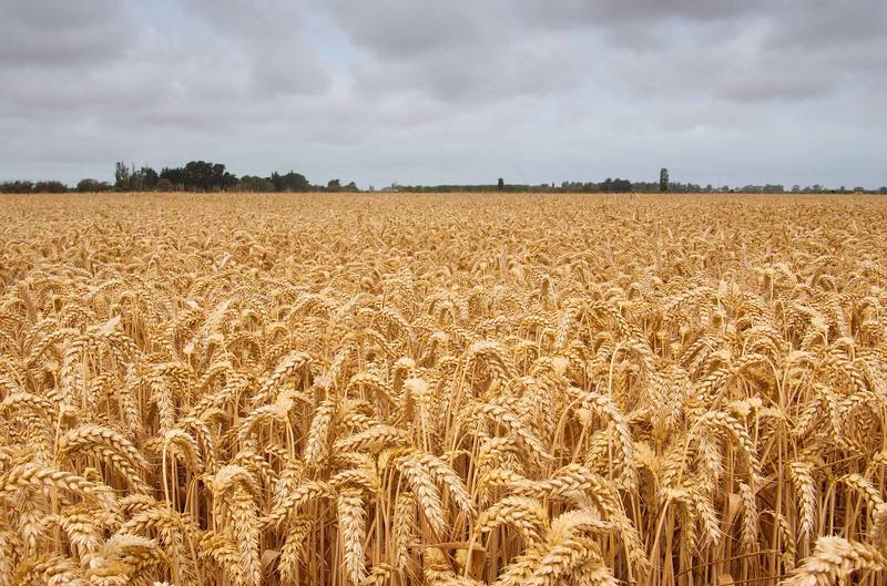 Robigus wheat
