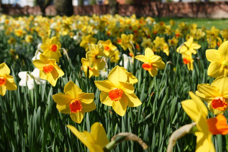 Daffodils Ashburton Domain