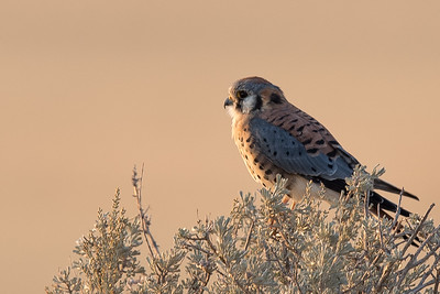 Kestrel at sunrise