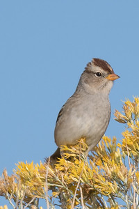White Crowned Sparrow (imm)