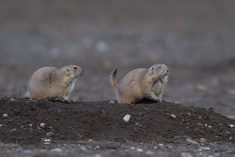 Prarie Dogs at Prarie Dog Town (2)