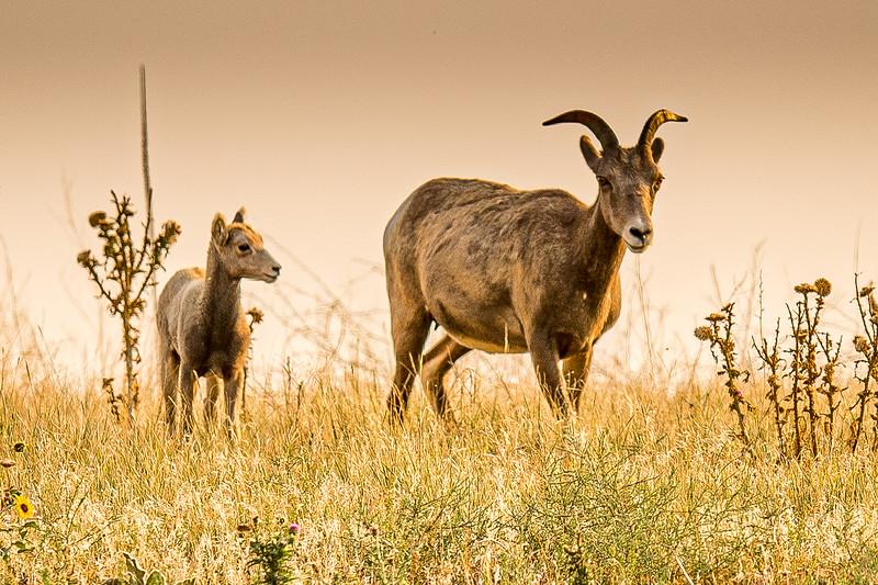 Female Big Horn Sheep and Lamb