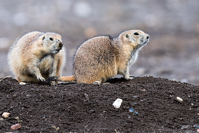 Prarie Dogs at Prarie Dog Town (4)