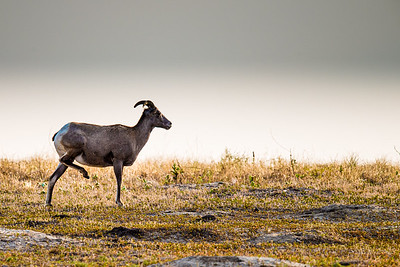 Lone Big Horn Sheep Ewe