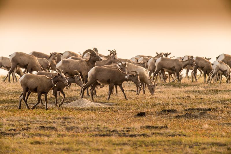 Herd of Big Horn Sheep