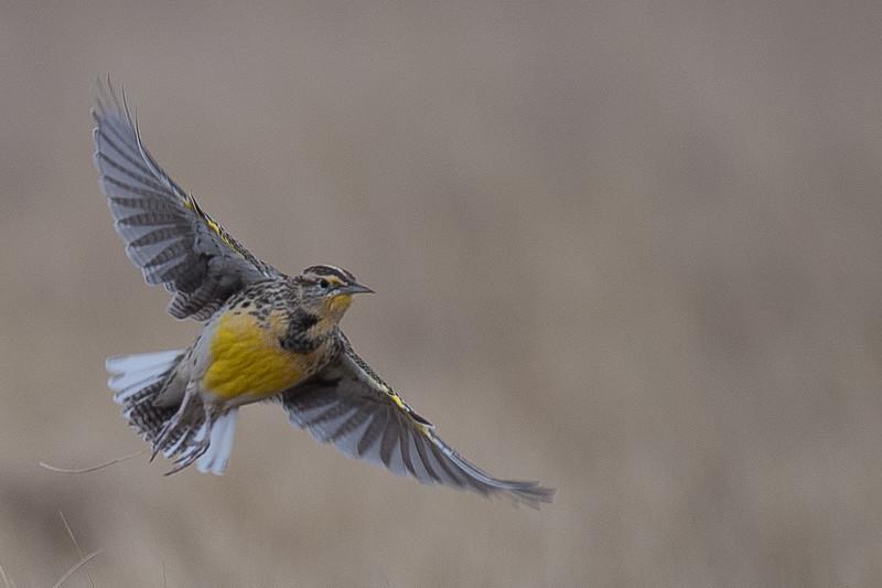 Western Meadow Lark Flying