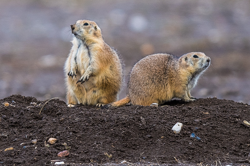 Prarie Dogs at Prarie Dog Town (3)