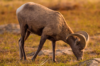 Big Horn Sheep  (ram)