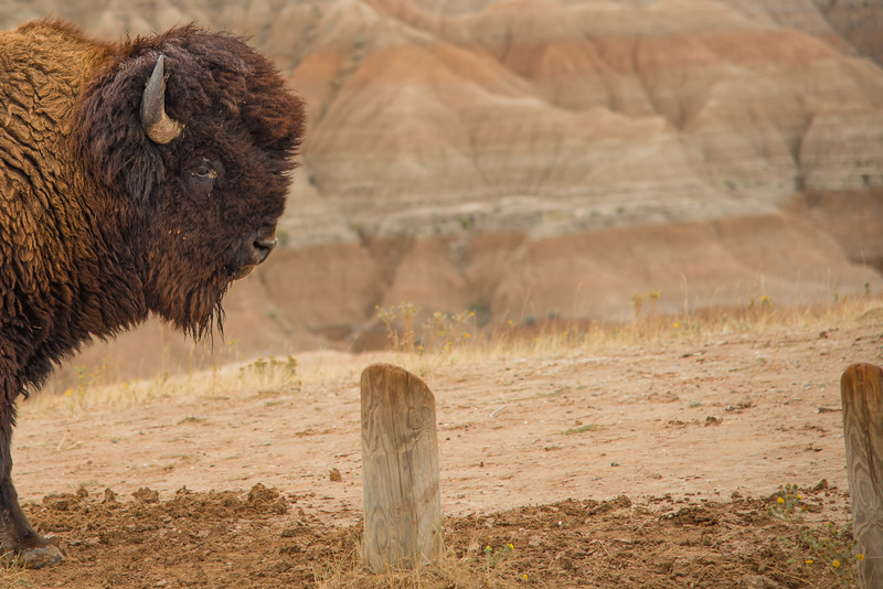 Bison against the Wall