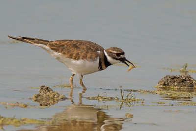 Killdeer enjoying a worm