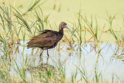 Glossy Ibis - Farmington Bay