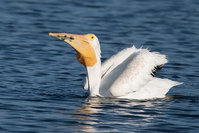 Pelican eating something!
