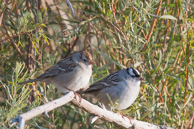 Chipping Sparrow and White Crowned Sparrow