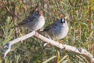 Chipping and White Crowned Sparrow - looking at me