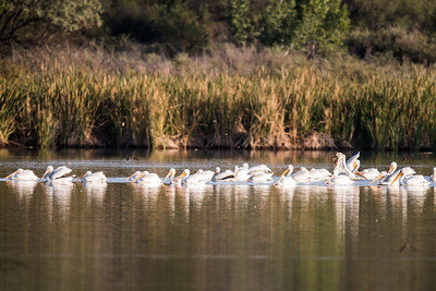 Flock of Pelicans on Lagoon
