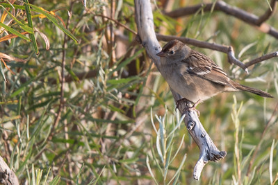Chipping sparrow (?)