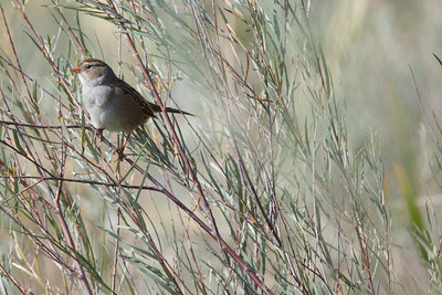 Some type of Sparrow
