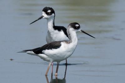 Pair of Black-necked  Stilts