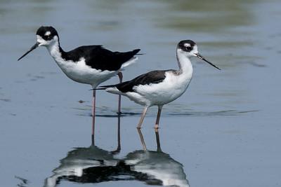 Same pair of Black-necked Stilts