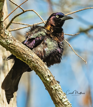 Colorful Grackle