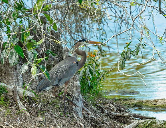 GBH stranded-2