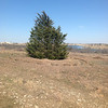 Closer view of spruce tree where we will hold our first service before ground is broken for construction.