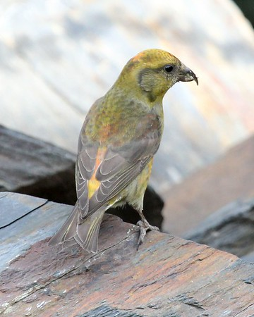 This female Red Crossbill was still visiting our yard in May! (May 2016)