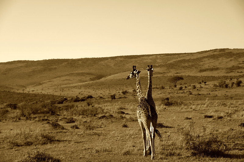 The only two-headed giraffe in Africa - in sepia.
