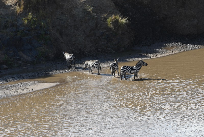 The alpha zebra stood guard while the entire dazzle climbed the hill