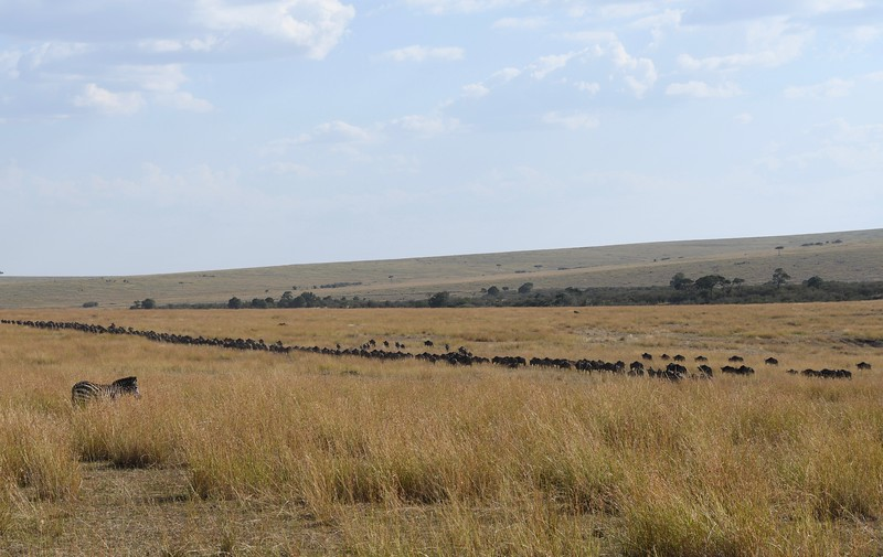 Wildebeest as far as the eye can see - lining up to cross the river.