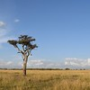 Classic lone African Acacia tree