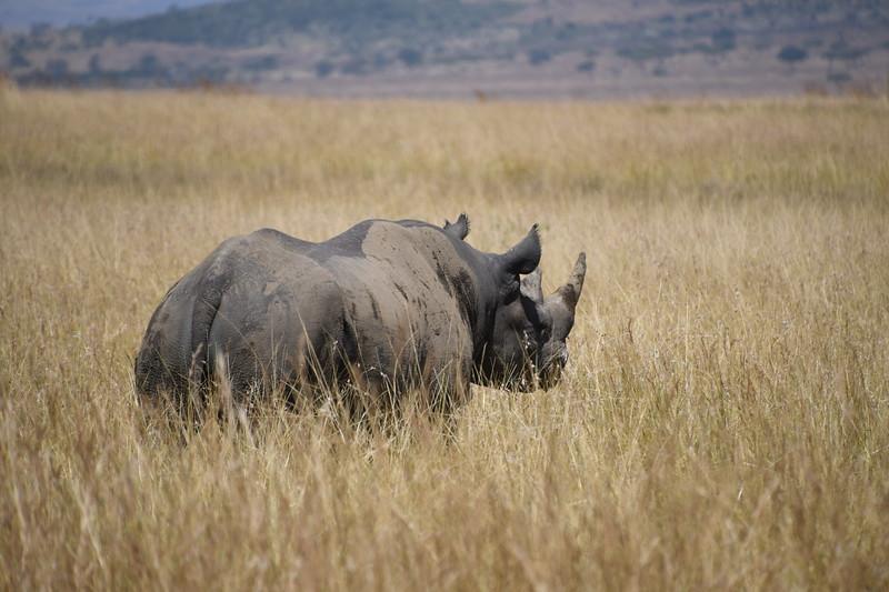 I am an extremely rare Black Rhino